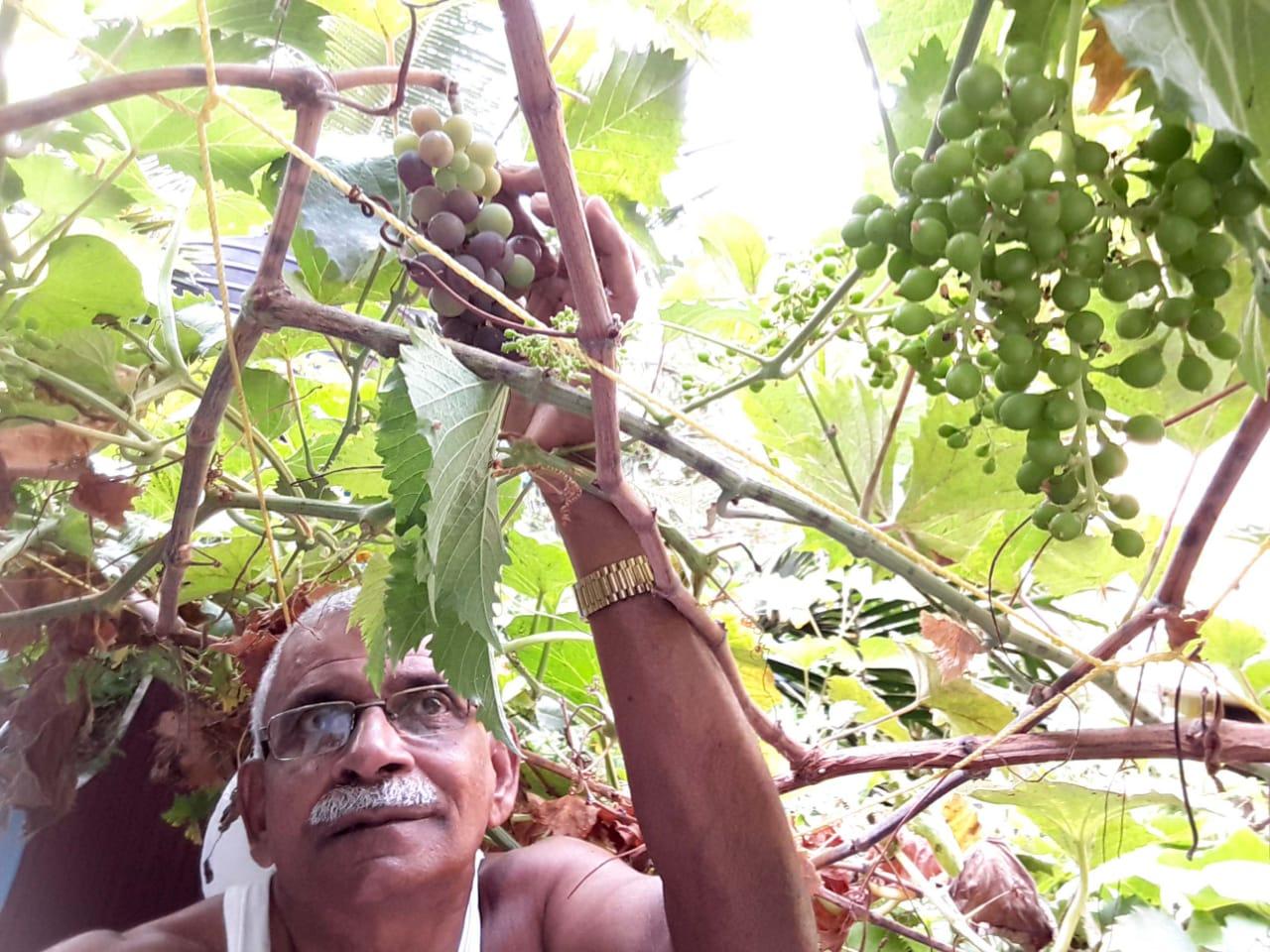 Abu Haji has grown organic grapes in his home