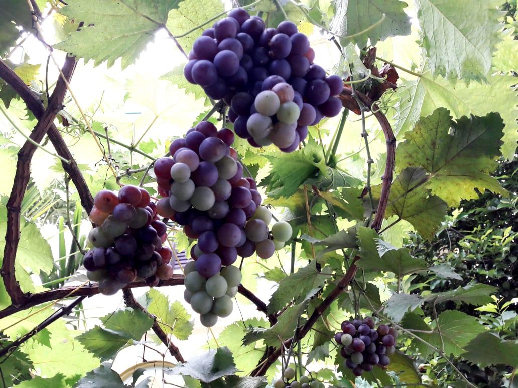 Organic Grapes grown in Ahmed Haji's house