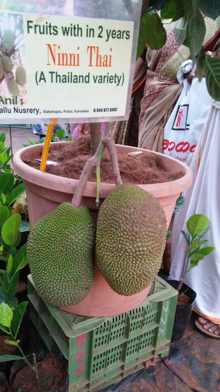 Ninni Thai variety of jack fruit. This plant will start fruiting in just two years