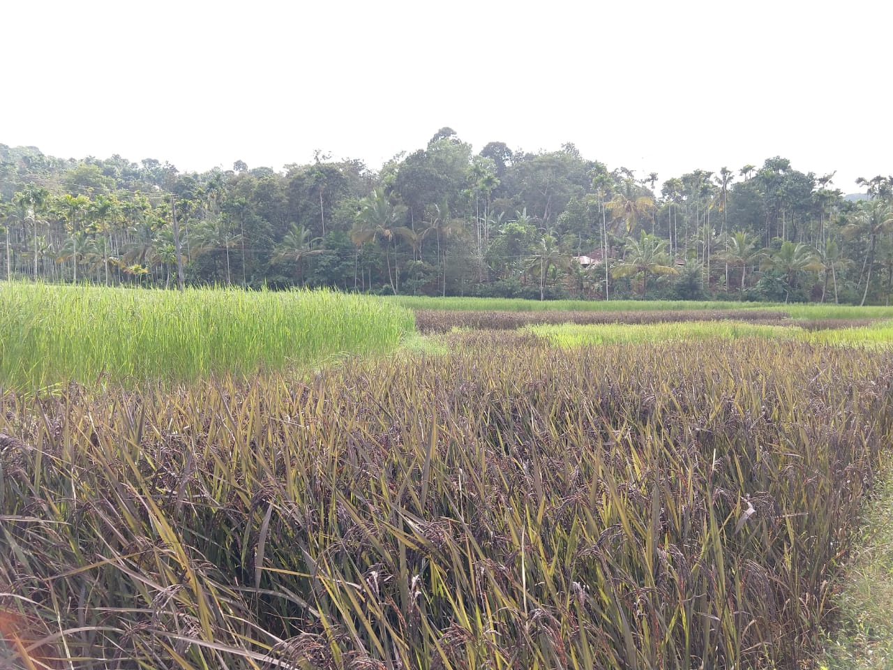 Organic Black rice farm in Wayanad